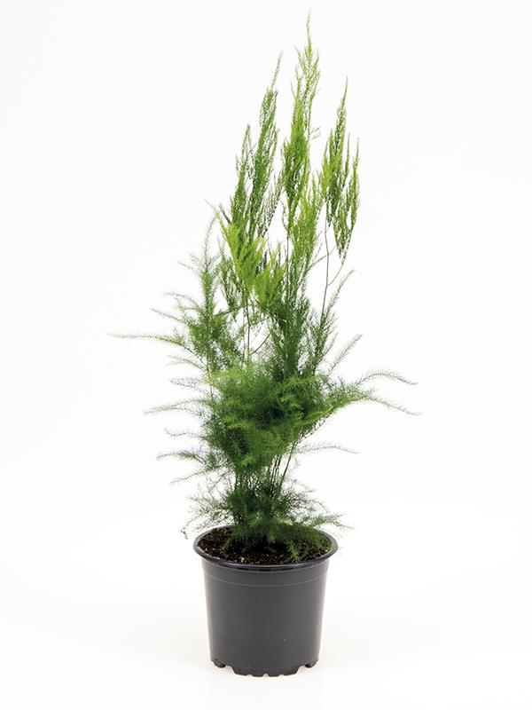 <center>Asparagus seta.  'Pyramidalis'</center>