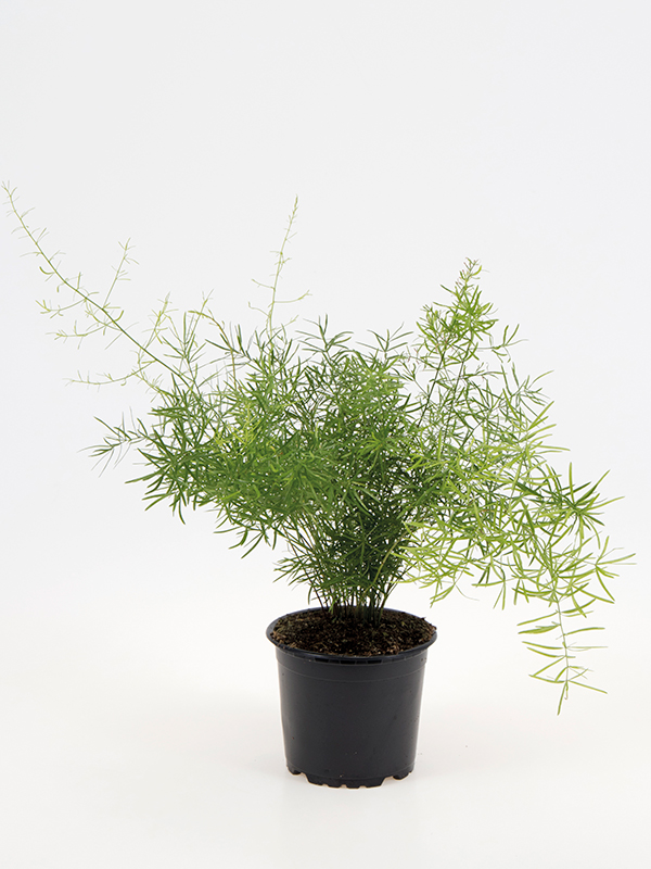 <center>Asparagus dens. 'Sprengeri'</center>