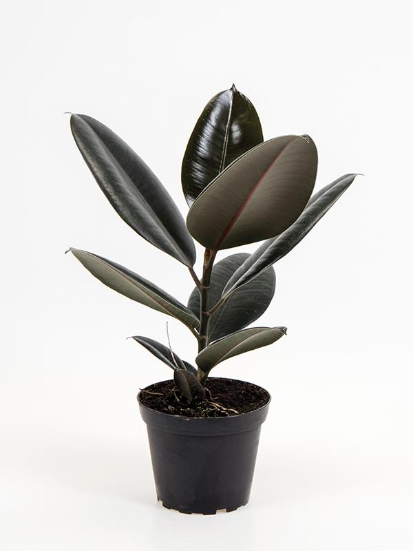 <center>Ficus elastica 'Abidjan'</center>