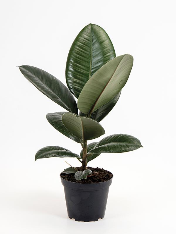 <center>Ficus elastica 'Robusta'</center>