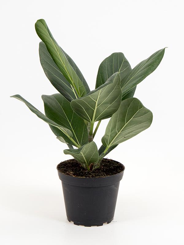<center>Ficus bengalensis 'Audrey'</center>