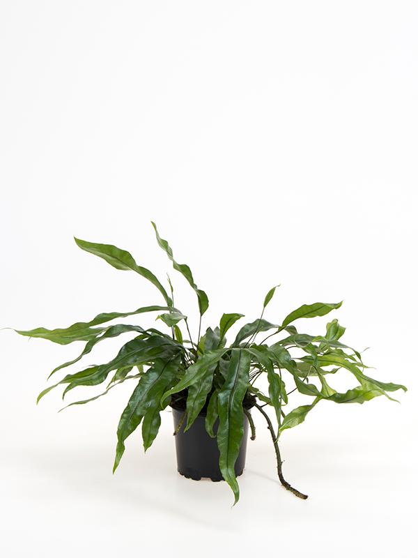 <center>Microsorum diversifolium</center>