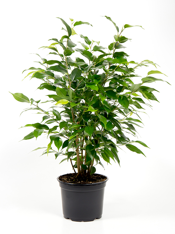 <center>Ficus benjamina 'Natascha'</center>