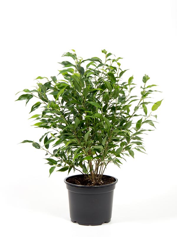 <center>Ficus benjamina 'Pandora'</center>