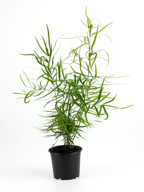 <center>Asparagus Falcatus</center>