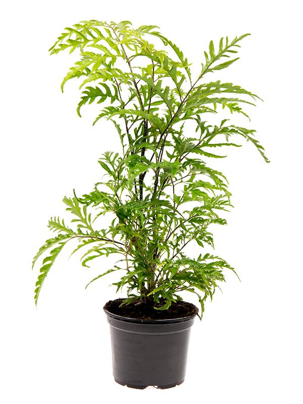 <center>Polyscias filicifolia</center>