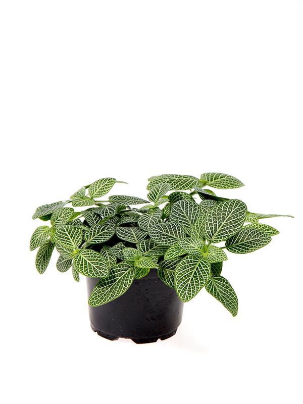 <center>Fittonia verschaffeltii hvid</center>