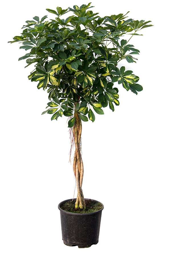 <center>Schefflera golden capella</center>