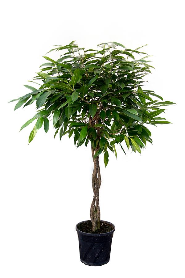 <center>Ficus binnend. 'Amstel King'</center>