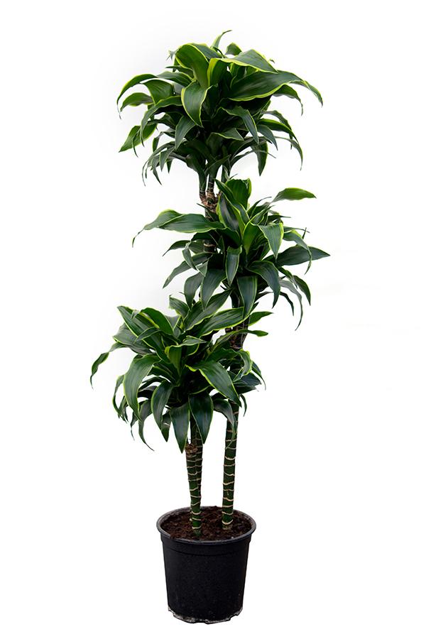 <center>Dracaena deremensis 'Dorado'</center>